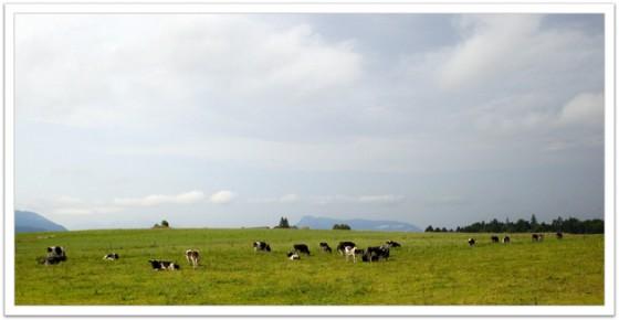 Cows on an Alp, Austria